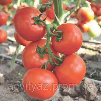 Семена томата Чинто (Cinto RZ) F1, 1000 семян
