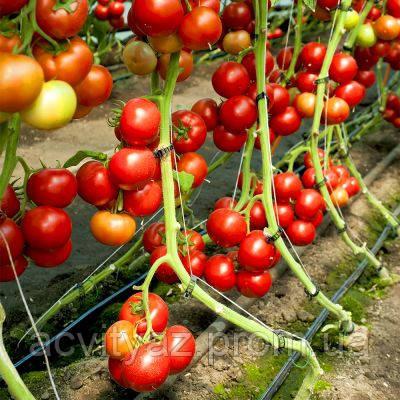 Семена томата Дофу 73-521 (Doufu RZ) F1, 1000 семян