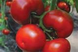 Семена томата Бостина F1, 500 семян, фото 2
