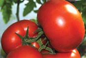 Насіння томату Панекра F1, 500 насінин