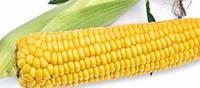 Семена сладкой (сахарной) кукурузы Старшайн F1, 100 тыс. семян
