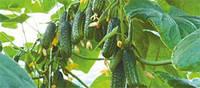 Семена огурца Еколь F1, 500 семян