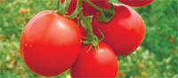 Семена томата Фортікс F1, 5000 тыс. семян
