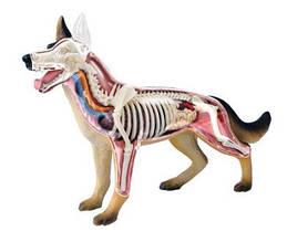 Объемная анатомическая модель Собака