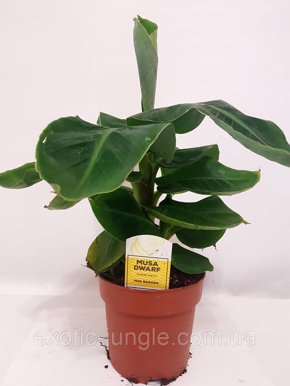 Банан (Musa) (Musa Dwarf Cavendish) 30-40 см. Комнатный