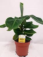 Банан (Musa) (Musa Dwarf Cavendish) 30-40 см. Комнатный, фото 1