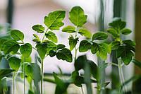 Як виростити розсаду на підвіконні?