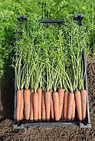 НЬЮХОЛ F1 / NEWHALL F1 - морковь, Bejo 100 000 семян 2,2-2,4