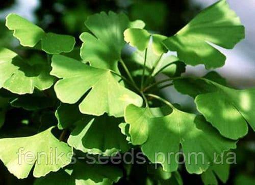 Гинкго Билоба (сухой лист)