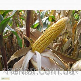 Кукуруза посевная НС 2012