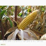 Кукуруза посевная НС 2012, фото 2