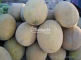 Семена дыни АМАЛ F1, 1000 семян, фото 2