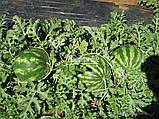 Семена арбуза КРЫМСОН СВИТ, 0, 5 кг, фото 4