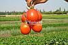 Семена томата ФОРСАЖ (ФРИСКО) F1, 5000 семян