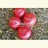 Семена розового томата ФЕНДА F1, 250 семян