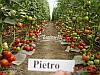 Семена томата ПЬЕТРО F1, 1000 семян