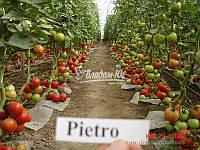 Семена томата ПЬЕТРО F1, 1000 семян, фото 1