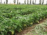 Семена перца ФЛАМИНГО F1, 5 гр, фото 3