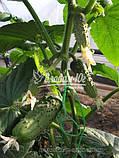 Семена огурца РЕГАЛ F1, 10 гр., фото 2