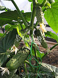 Семена огурца РЕГАЛ F1, 100 гр., фото 2