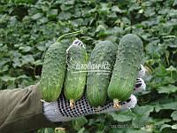 Семена огурца РЕГАЛ F1, 0, 5 кг., фото 1