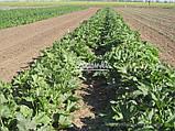 Семена кабачка ДОНИЯ F1, 2500 семян New!, фото 4