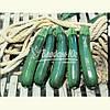 Семена кабачка ТАРМИНО F1, 500 семян