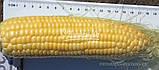 Семена кукурузы сахарной ЛЕЖЕНД F1, 1 кг., фото 2