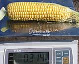Семена кукурузы сахарной ЛЕЖЕНД F1, 1 кг., фото 3