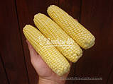 Семена кукурузы сахарной ЛЕЖЕНД F1, 1 кг., фото 4