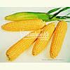 Семена кукурузы сахарной ЛЕЖЕНД F1, 10 кг.
