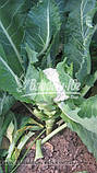 Семена цветной капусты МАЙБАХ F1 (Elisem), 1000 семян, фото 3