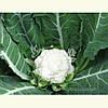 Семена цветной капусты МАЙБАХ F1 (Elisem), 2500 семян