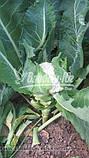 Семена цветной капусты МАЙБАХ F1 (Elisem), 2500 семян, фото 3