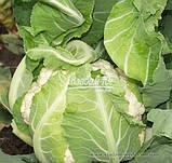 Семена цветной капусты НАУТИЛУС F1, 10000 семян, фото 2