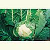 Семена цветной капусты АВИЗО F1, 1000 семян