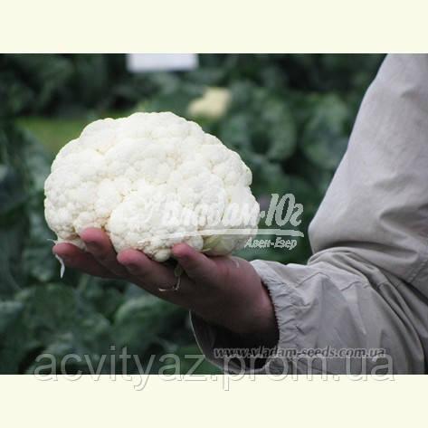 Семена цветной капусты САБОРД F1, 2500 семян New!