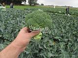 Насіння броколі КОРОС F1, 1000 насіння New!, фото 2