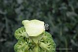 Насіння броколі КОРОС F1, 1000 насіння New!, фото 3