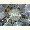 Семена брокколи РУМБА F1, 2500 семян New!