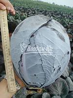 Семена красной капусты ГАРАНСИ F1, 1000 семян, фото 1