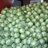 Семена капусты ЛЕГАТ F1, 1000 семян, фото 4