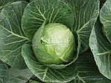 Насіння капусти СІР F1, 1000 насіння (Elisem), фото 2