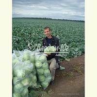 Семена капусты ГОДВАРИ F1, 1000 семян (Elisem) New!