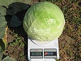 Семена капусты КАПОРАЛ F1, 10000 семян, фото 2