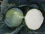 Семена капусты ЦЕНТУРИОН F1, 10000 семян (Elisem), фото 4