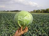 Семена капусты КАУНТ F1, 10000 семян (Elisem), фото 2
