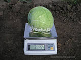 Семена капусты КАУНТ F1, 10000 семян (Elisem), фото 3