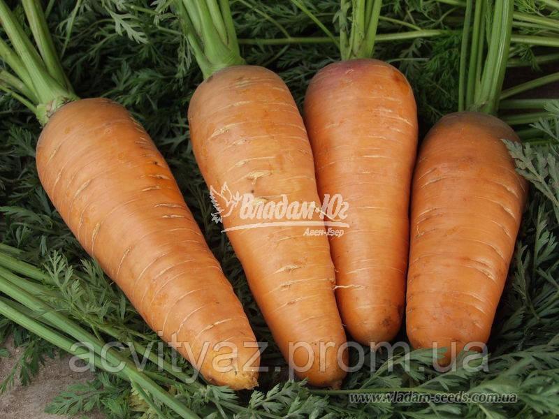 Насіння моркви ЗАБАРВЛЕННЯ, 0, 5 кг