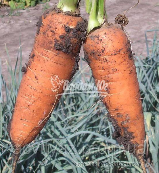 Насіння моркви ШАНТАНЕ, 0, 5 кг